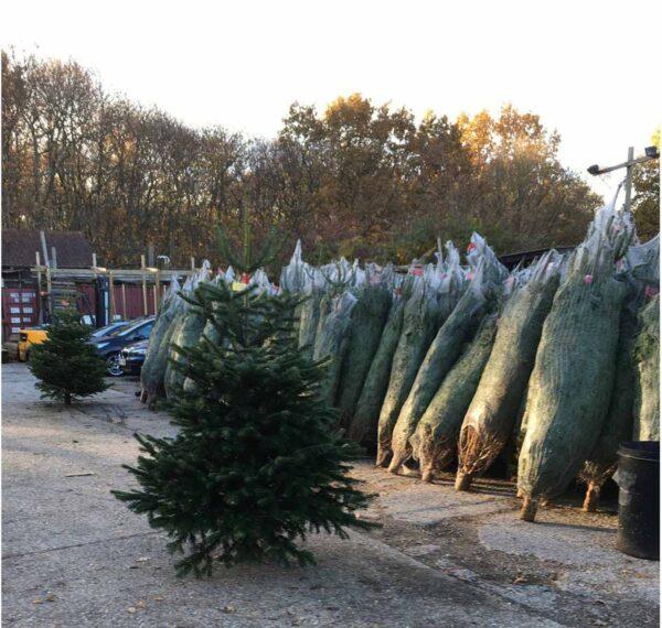 Premium Grade Normann Non Drop Christmas Tree 16 Daws